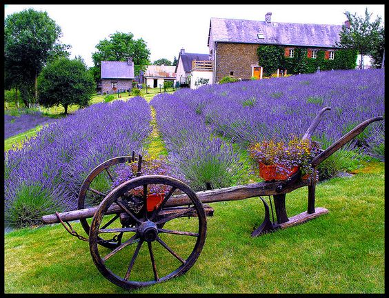 Lavender Farm and Field pic